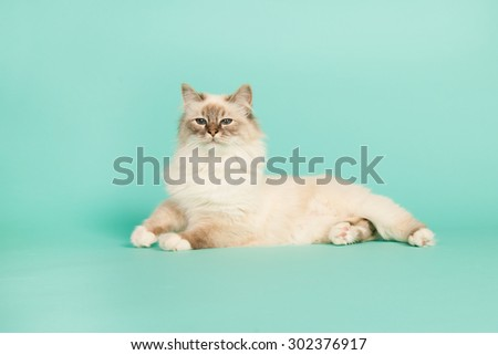 Portrait Birman cat on green background - stock photo