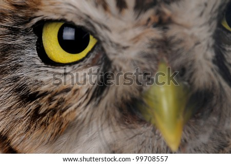 portrait brownie  horned owl on a white background - stock photo