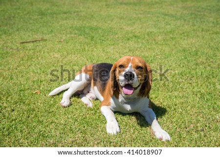 Portrait cute beagle puppy dog looking up - stock photo