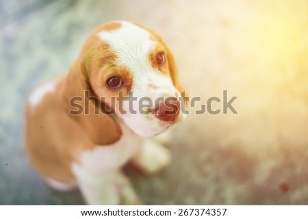 Portrait cute beagle puppy dog looking up. Vintage filter. - stock photo