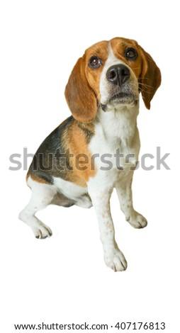 Portrait cute beagle puppy dog on white background - stock photo