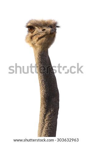 portrait emu isolated on white background. - stock photo