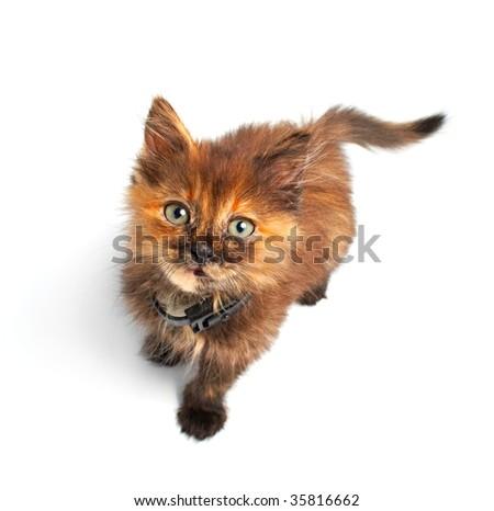 portrait feathery kitty isolated on white background - stock photo