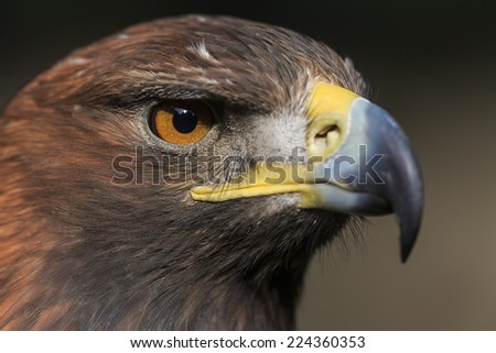 portrait golden eagle very close up - stock photo