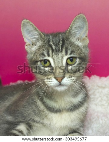 Portrait grey and white tabby kitten curiously looking, laying on white sheepskin bed with pink textured background. - stock photo