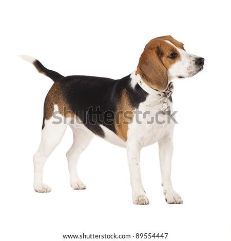 portrait image of dog Beagle standing and looking by the side. Isolated on a white background - stock photo