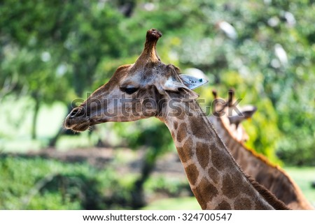 portrait in profile of a giraffe against a blurred green background of the forest - stock photo