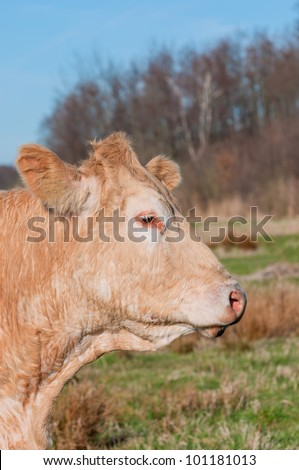 Portrait in profile of a light brown cow against a blurred natural background in the Netherlands. - stock photo
