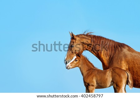 Portrait in profile of a red mare on a blue background. Horse kissing a red foal. The same pair. - stock photo