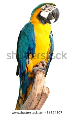 portrait macaw bird isolated on white background - stock photo