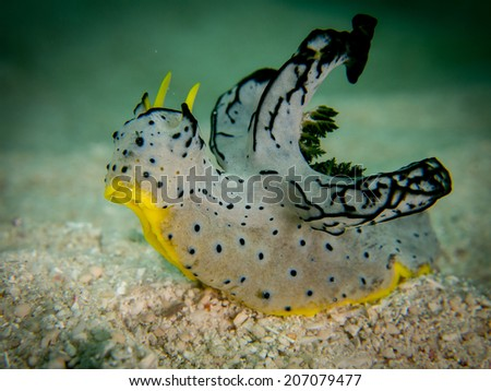 Portrait, macro shot, detail of the very specific nudibranch, sea slug, on the sandy shallow bottom. Togeans, Indonesia. - stock photo