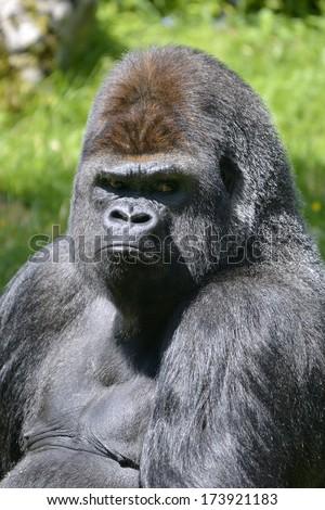 Portrait male western lowland gorilla (Gorilla gorilla) - stock photo