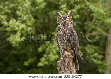 Portrait of a adult Great Horned Owl Bubo viriginianus perch on a old dead tree stump - stock photo