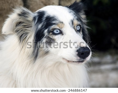 Portrait of a australian shepherd dog  - stock photo