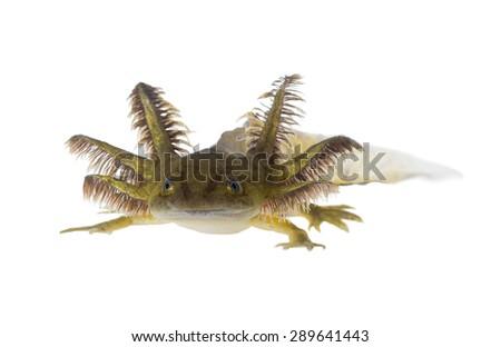 Portrait of a Axolotls are members of the Ambystoma tigrinum (Tiger salamander) - stock photo