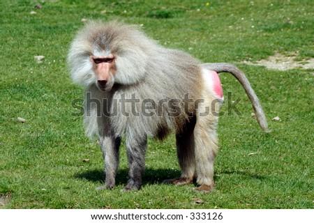 Portrait of a baboon Papio ursinus - stock photo