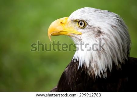 Portrait of a bald eagle, haliaeetus leucocephalus - stock photo