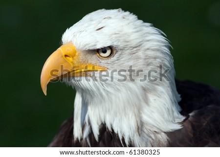 Portrait of a bald eagle [Haliaeetus leucocephalus] - stock photo