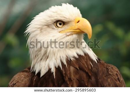 Portrait of a bald eagle,  lat. haliaeetus leucocephalus - stock photo