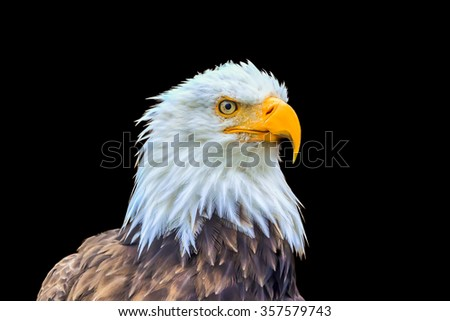 Portrait of a bald eagle (lat. haliaeetus leucocephalus) in black background Alaska,  - stock photo