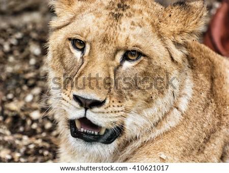Portrait of a Barbary lion - Panthera leo leo. Animal portrait. Lioness closeup. Atlas lion. Critically endangered species. - stock photo