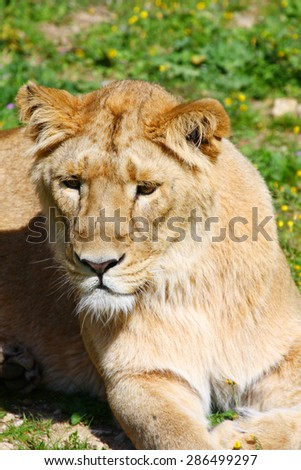 Portrait of a Barbary lion (Panthera leo leo). Lioness closeup. - stock photo