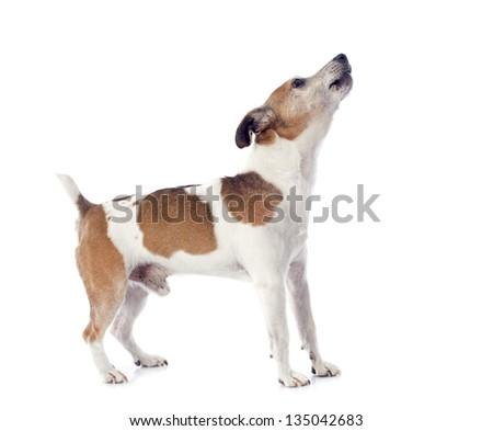 portrait of a barking jack russel terrier in studio - stock photo