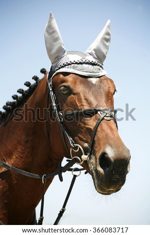 Portrait of a bay colored thoroughbred jumping horse - stock photo