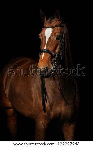 Portrait of a bay sport horse  - stock photo