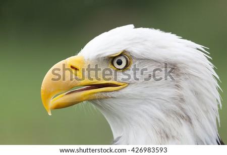 Portrait of a beautiful Bald Eagle - stock photo
