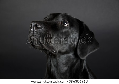 Portrait of a beautiful black Labrador Retriever (on a black background), selective focus on the nose - stock photo