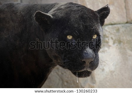 portrait of a beautiful black panther - stock photo
