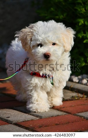 Portrait of a beautiful bolognese puppy - stock photo