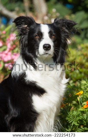 Portrait of a beautiful Border Collie in the garden - stock photo