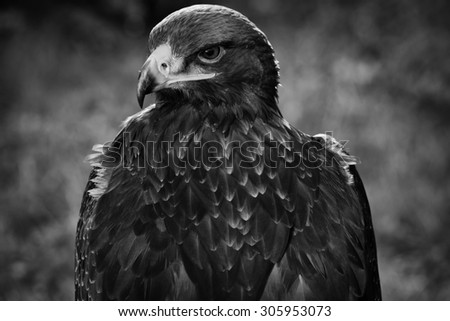 Portrait of a beautiful eagle, crossing of steppe and golden, looking sharply into the lens of the camera with the head crossed over his body - stock photo