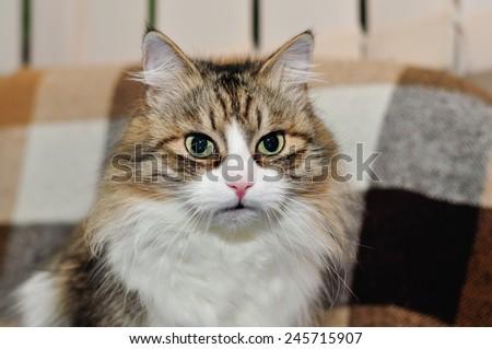 Portrait of a beautiful fluffy cat - stock photo
