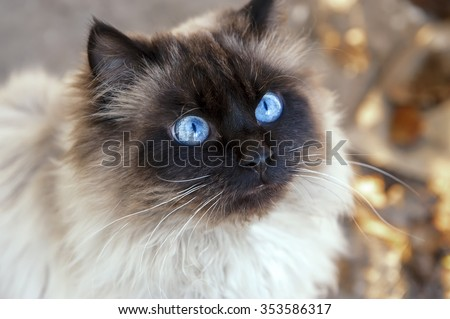 Portrait of a beautiful fluffy cat with blue eyes - stock photo