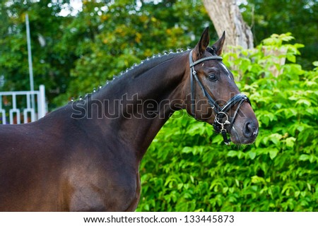 Portrait of a beautiful German stallion - breeder horse in russian luxury business stubble on green leaves of shrubs background in summer - stock photo
