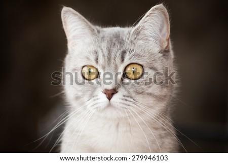portrait of a beautiful gray striped cat - stock photo