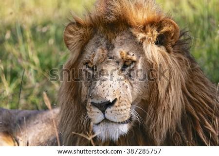 portrait of a beautiful lion at the masai mara national park  - stock photo
