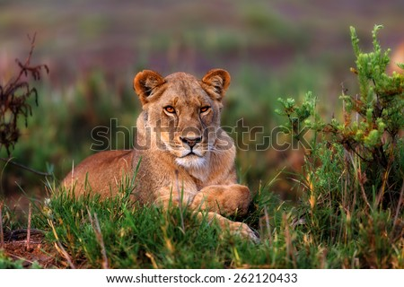 Portrait of a beautiful Lioness in sunrise light at Lake Masek in Tanzania - stock photo