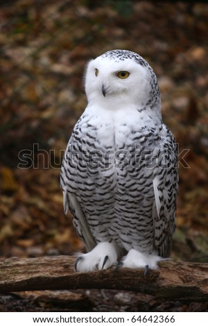 portrait of a beautiful snow owl - stock photo