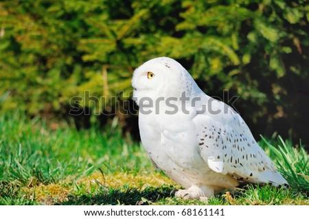 Portrait of a beautiful snow owl - stock photo