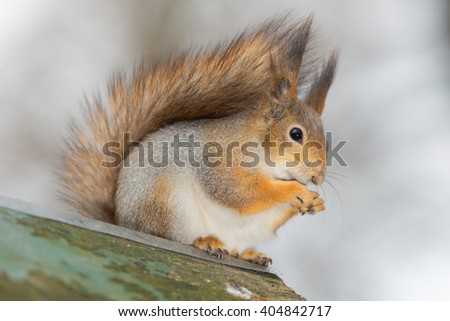 portrait of a beautiful squirrel close up - stock photo