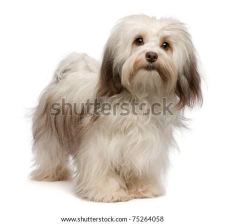 Portrait of a beautiful standing chocolate havanese dog isolated on a white background - stock photo