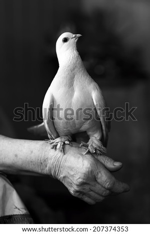 Portrait of a beautiful white dove - stock photo