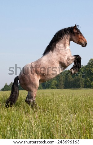 Portrait of a big horse that is rearing on the meadow - stock photo