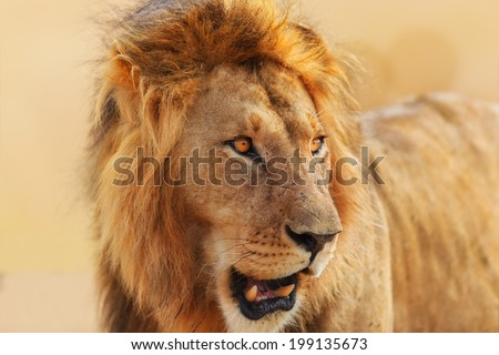 Portrait of a big lion at sunrise in Masai Mara, Kenya - stock photo