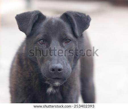 portrait of a black dog - stock photo