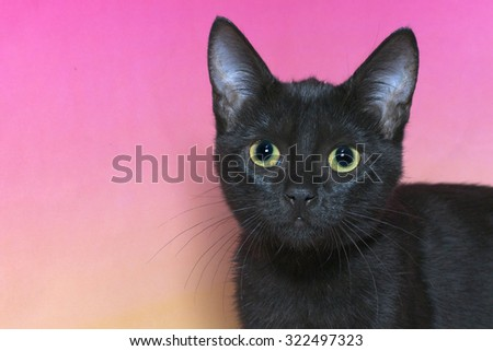 portrait of a black domestic short hair kitten with yellow green eyes isolated on a mottled pink and yellow background, cat looking forward - stock photo
